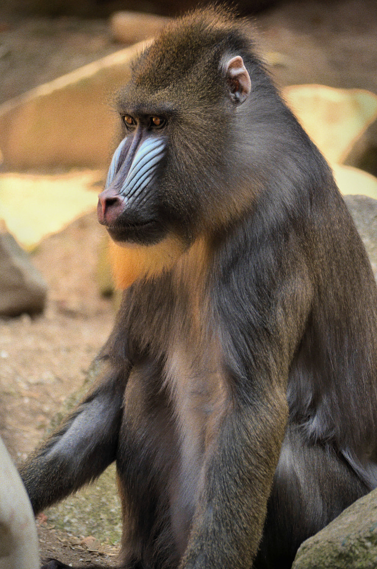 Photograph Baboon in a zoo by joan koch on 500px