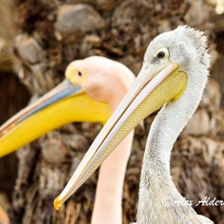 Pelican.................