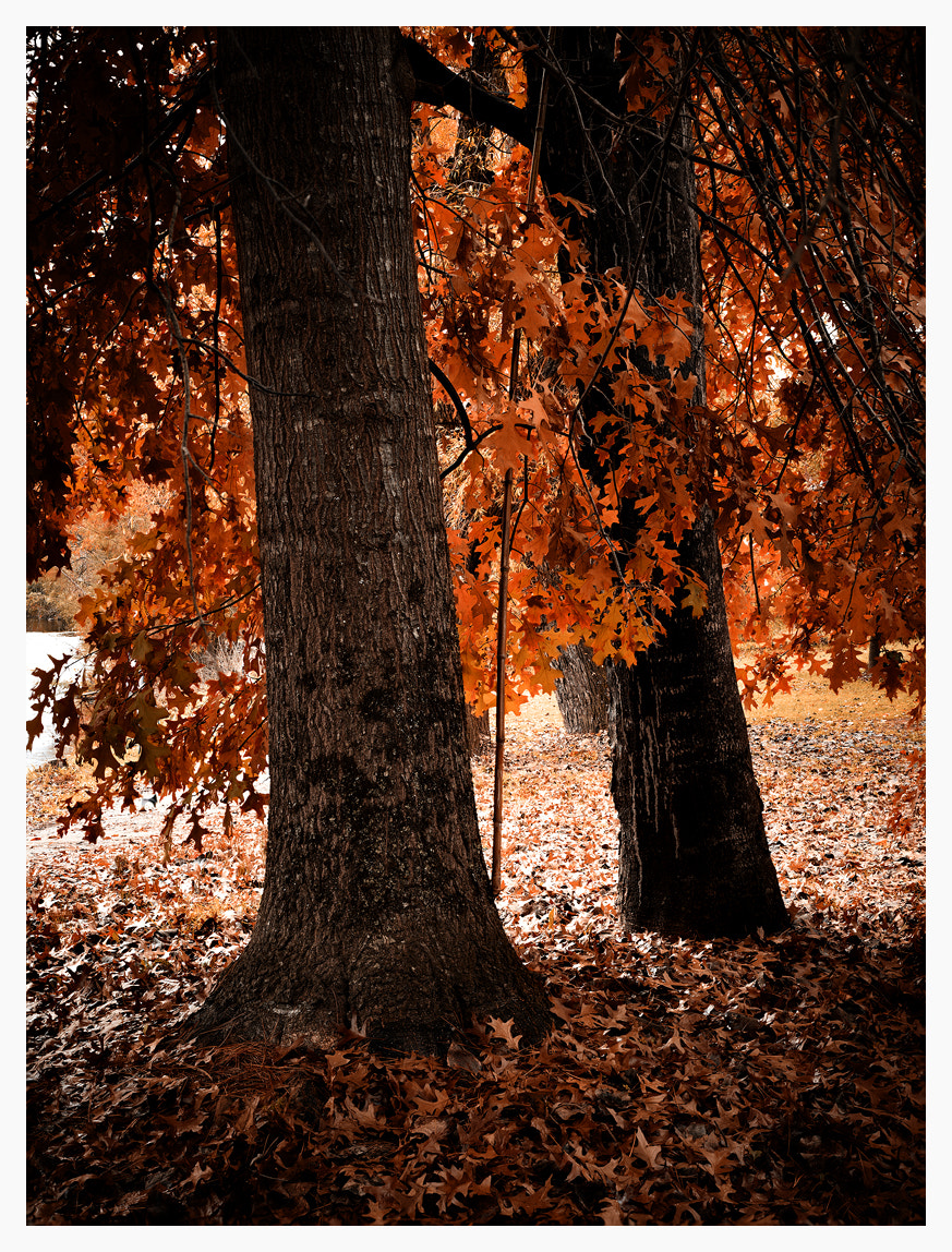 Photograph Autumn Trees, Bright, Victoria by Christian Fletcher on 500px