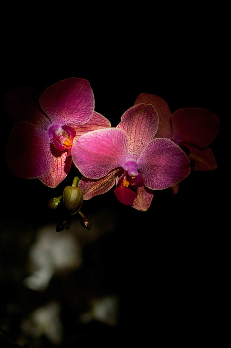 Photograph Orchid by Ruslan Zubko on 500px