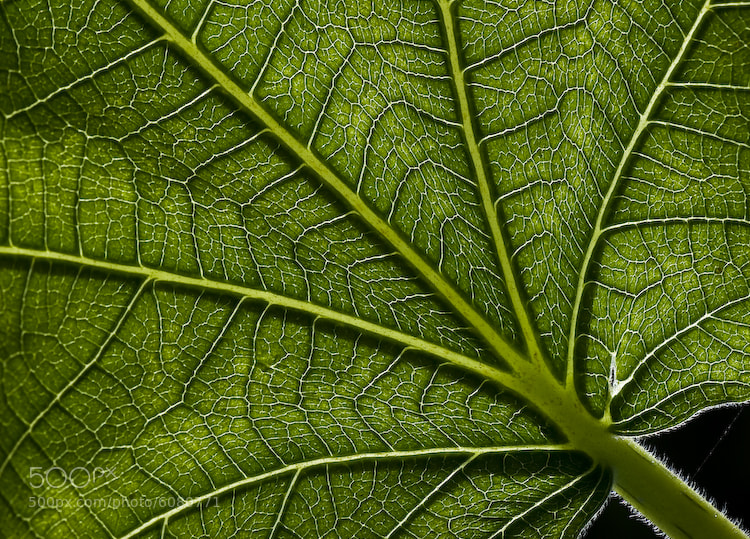 Photograph Details of a leaf by Nestor Santos on 500px