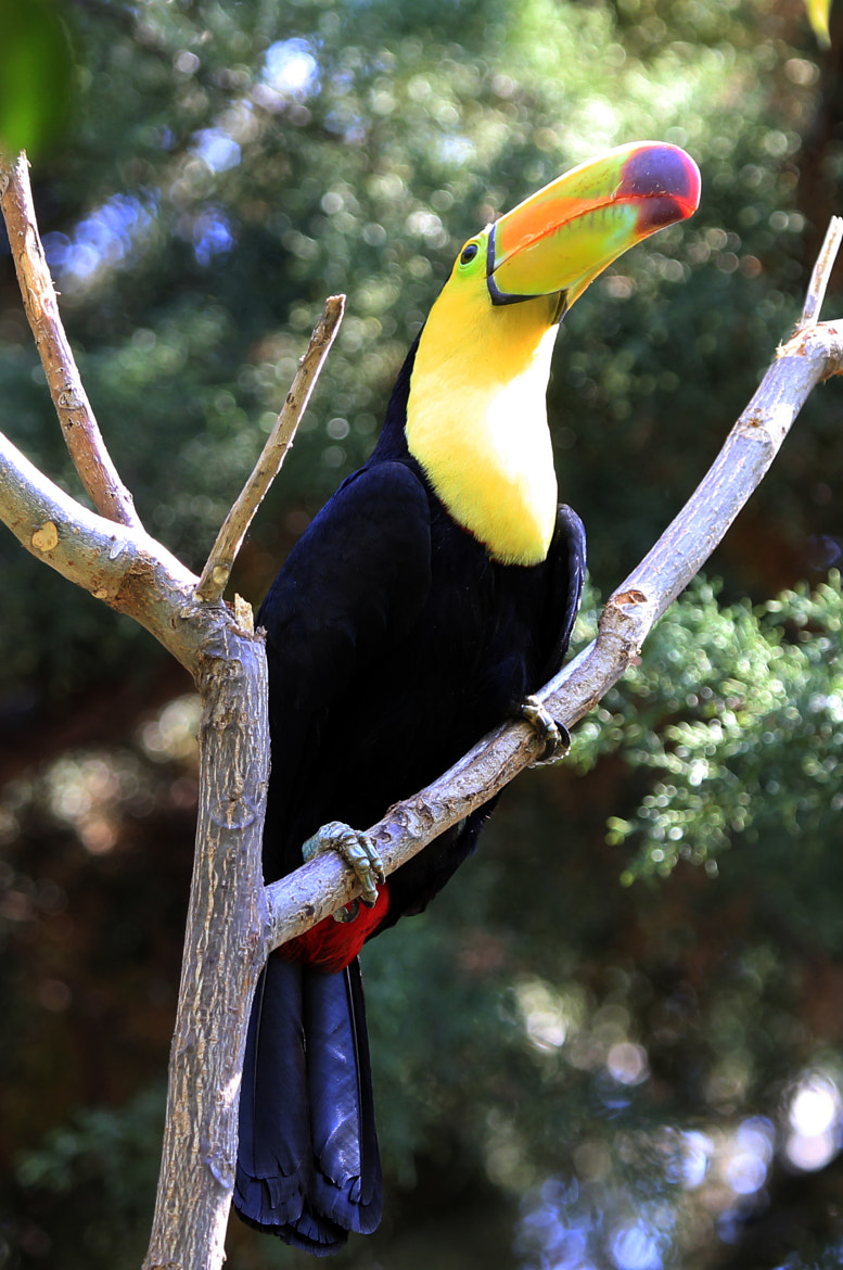 Photograph toucan visiting us in the spring by Cristobal Garciaferro Rubio on 500px