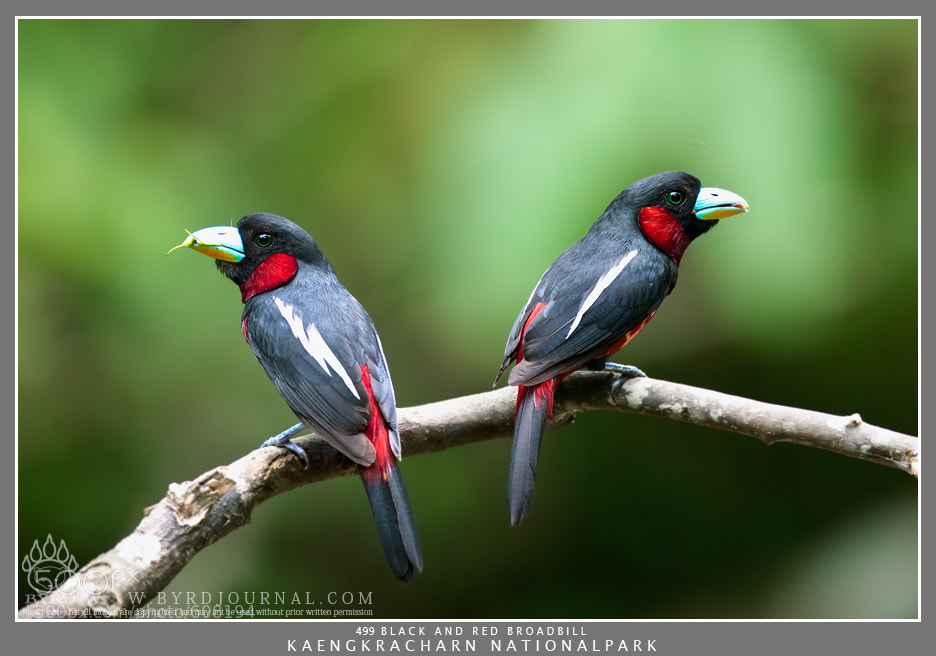 Photograph Black and Red Broadbill by Byrd L Mongkol on 500px