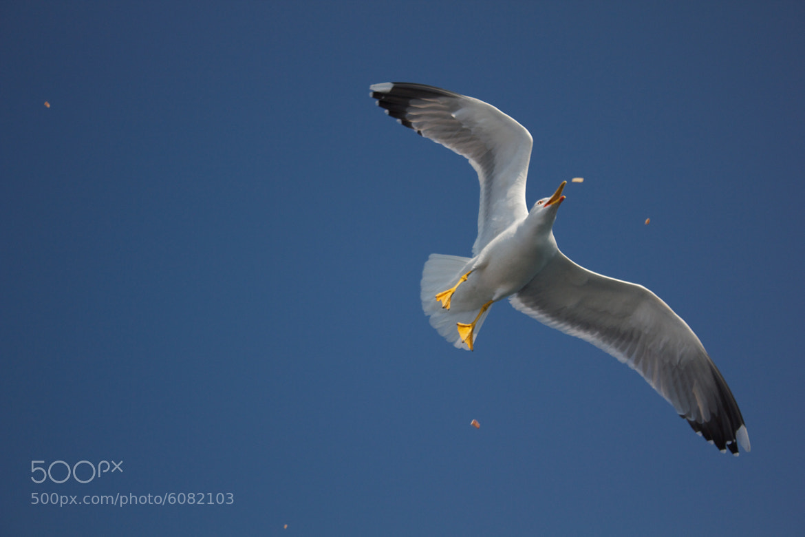 Photograph Seagull  by Kostas K on 500px