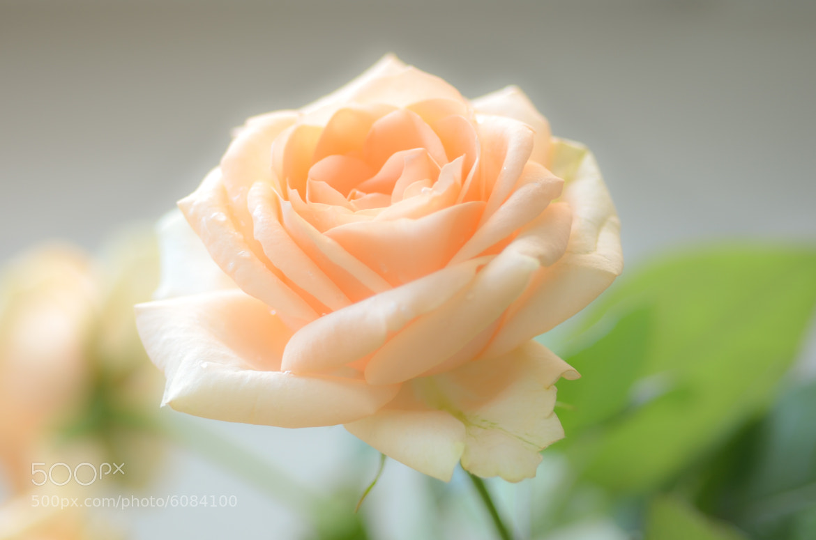Photograph Rose by Tatiana Fomina on 500px
