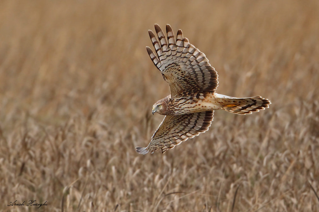 Photograph Female Northern Harrier by Ari Hazeghi on 500px