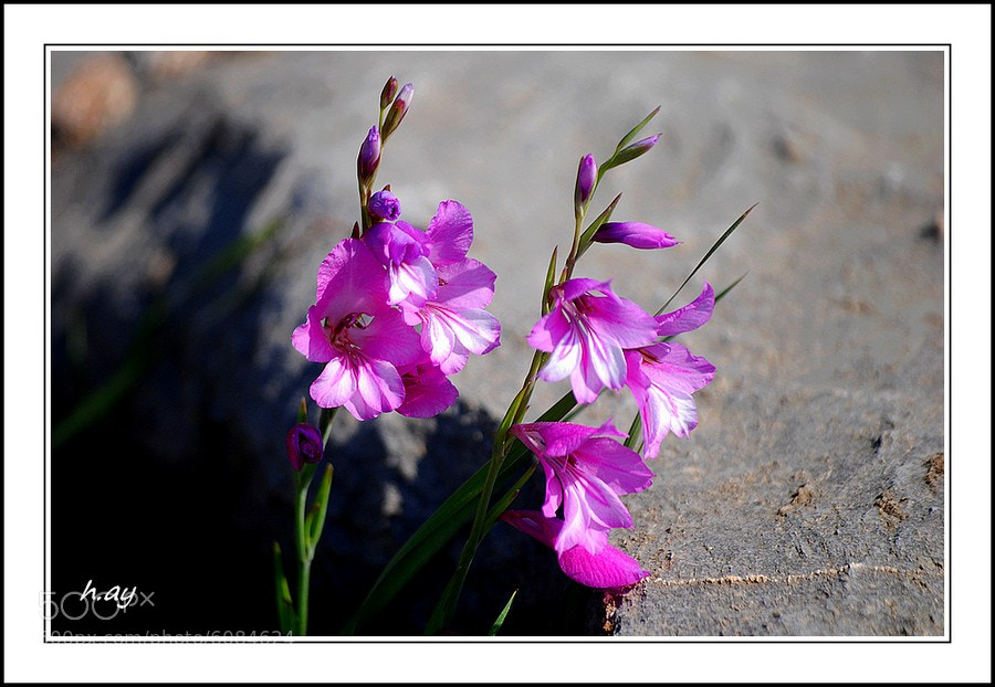 Photograph Les fleurs des champs : 03 Gladiolus illyricus by HUSEYIN AY on 500px