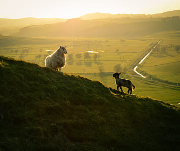 Scottish Sheep and Lamb