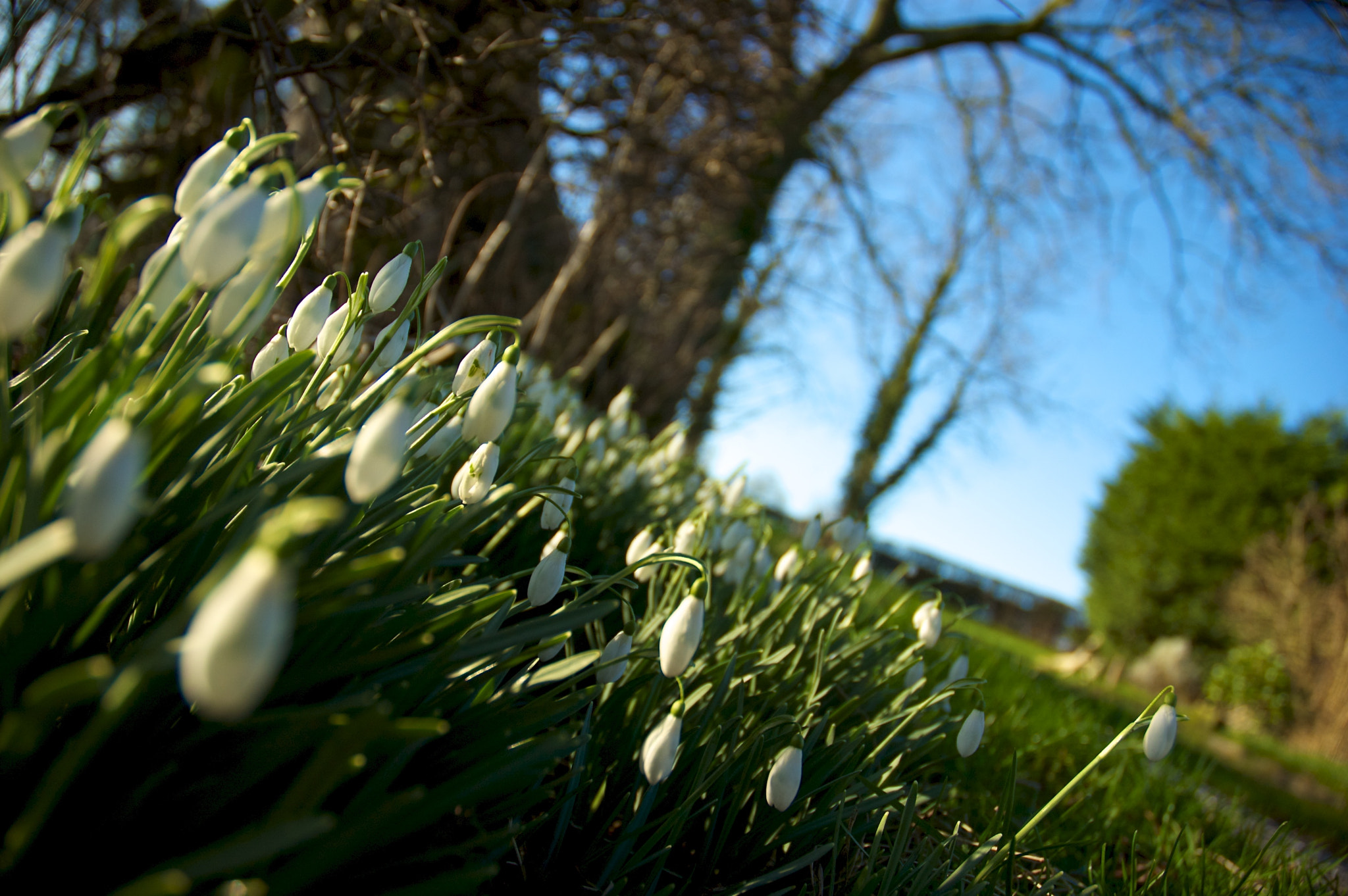 Photograph Snowdrops by David Mann on 500px