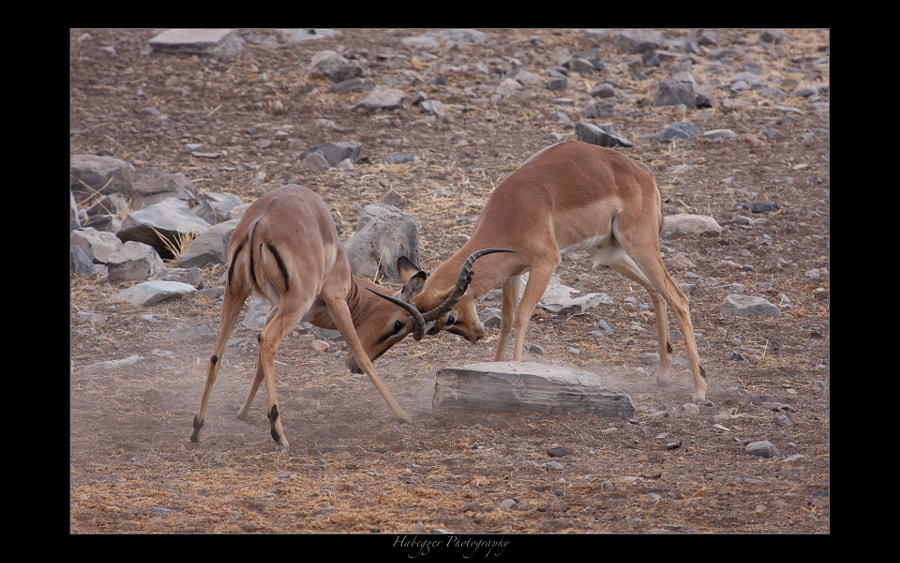 two male Impalas having a mock fight