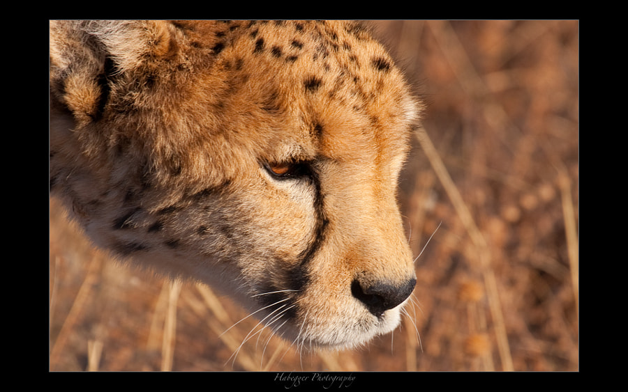 posha, the oldest cheetah in okonjima, home of africat foundation