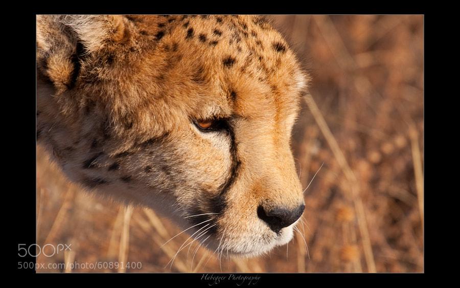 posha, the oldest cheetah in okonjima, home of africat foundation