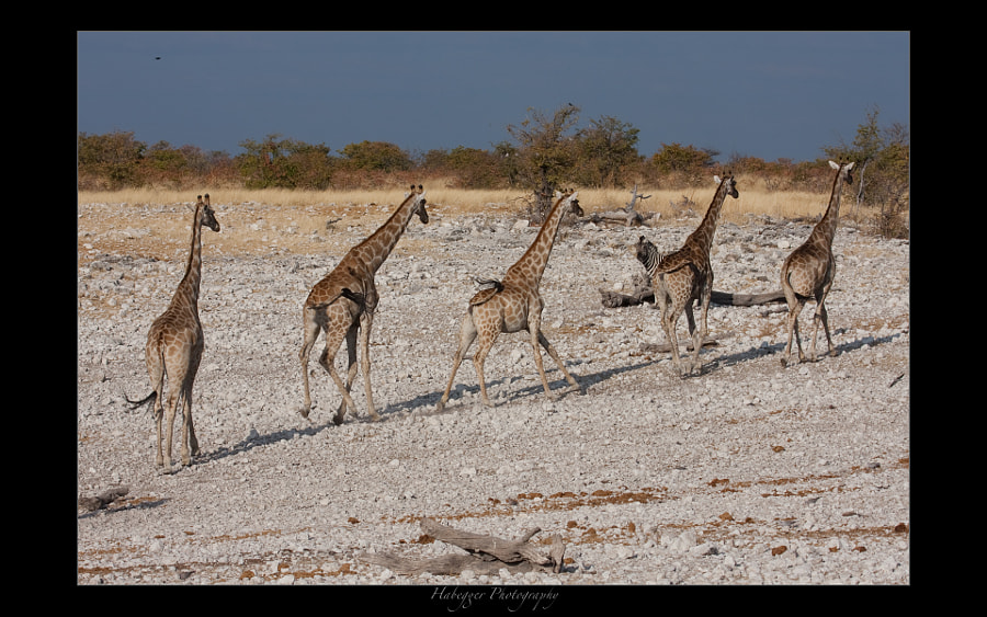 some giraffes leaving a waterhole after they got disturbed by a lioness