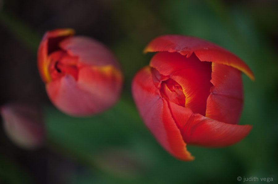 Photograph Tulips by Judith Vega on 500px