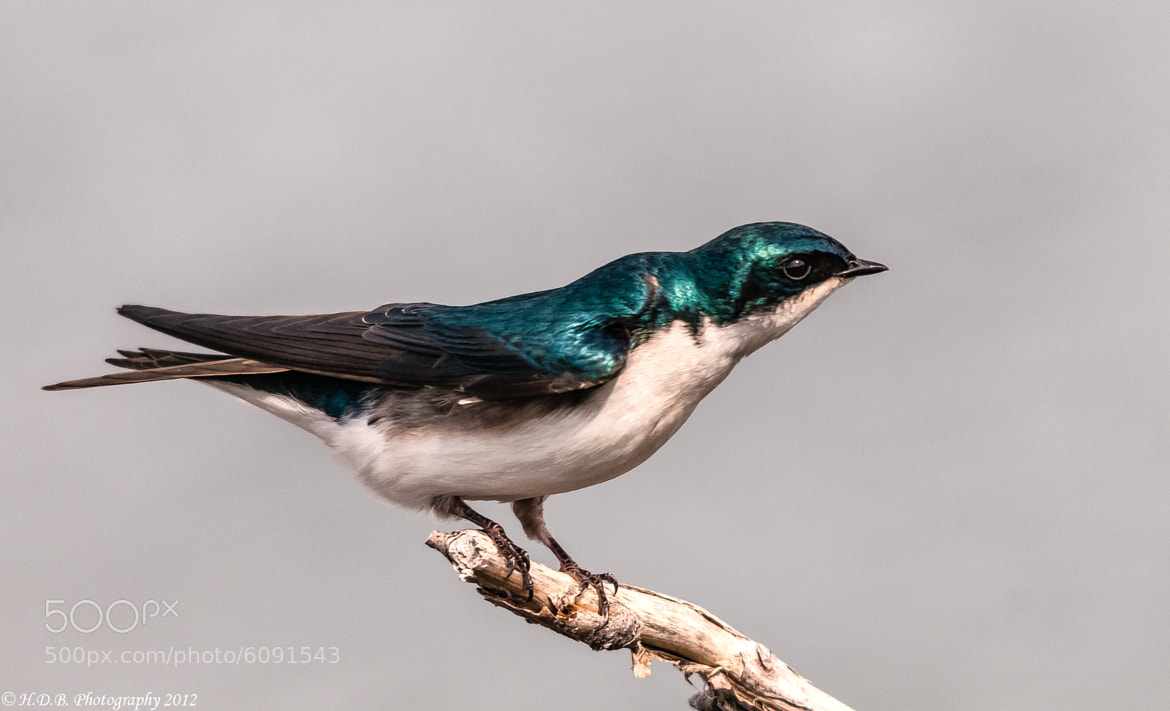 Photograph Mr. Swallow by Harold Begun on 500px