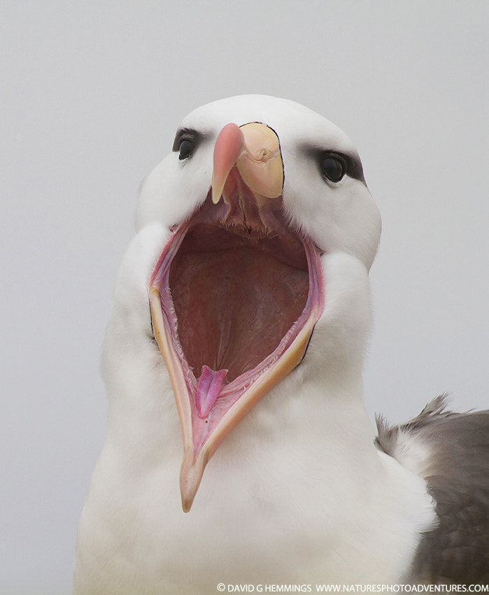 Photograph Black-browed Albatross by David Hemmings on 500px