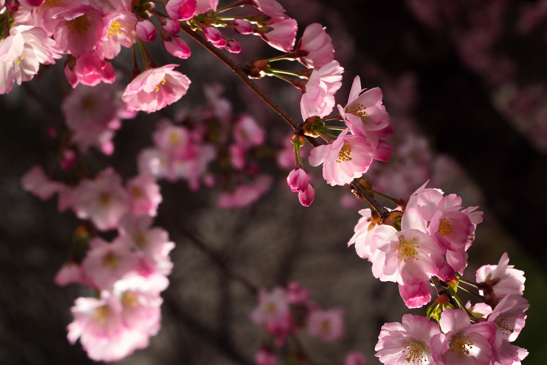 Photograph Cherry Blossoms Bloom by Gustavo Castillo on 500px
