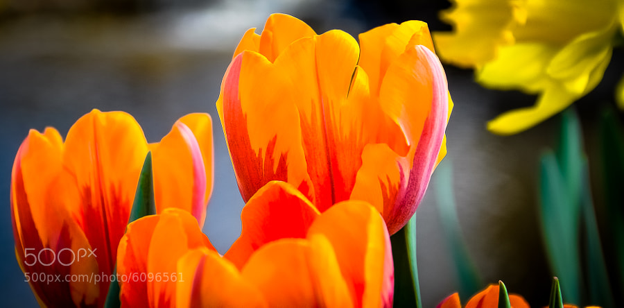 Tulips, frankenmuth michigan, flowers, close-up