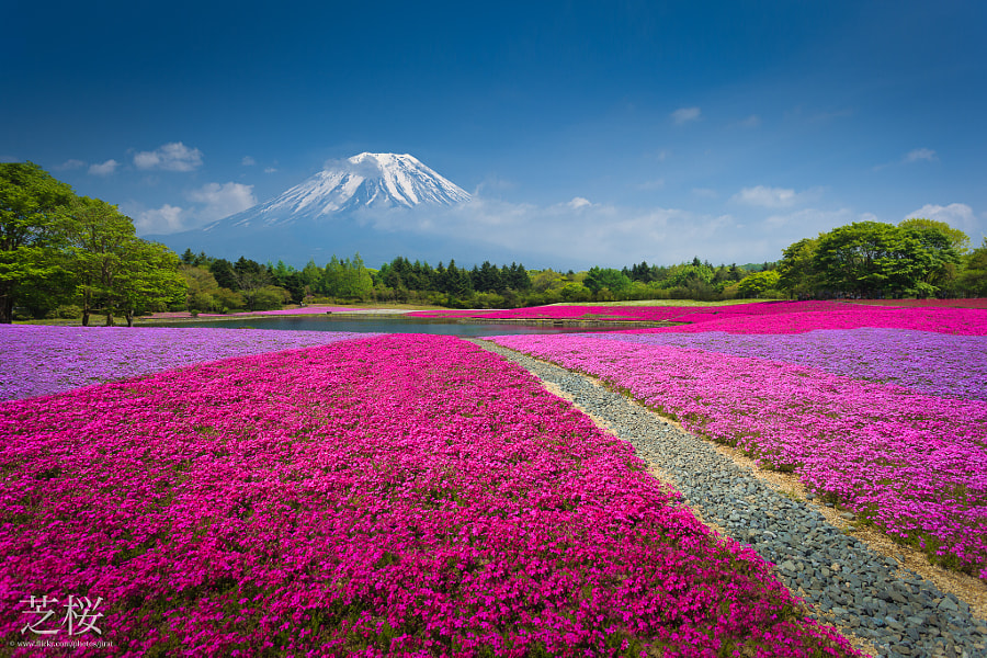 Mountain Fuji with the field of pink moss cherry blossom in Japan by Jirat Srisabye on 500px.com