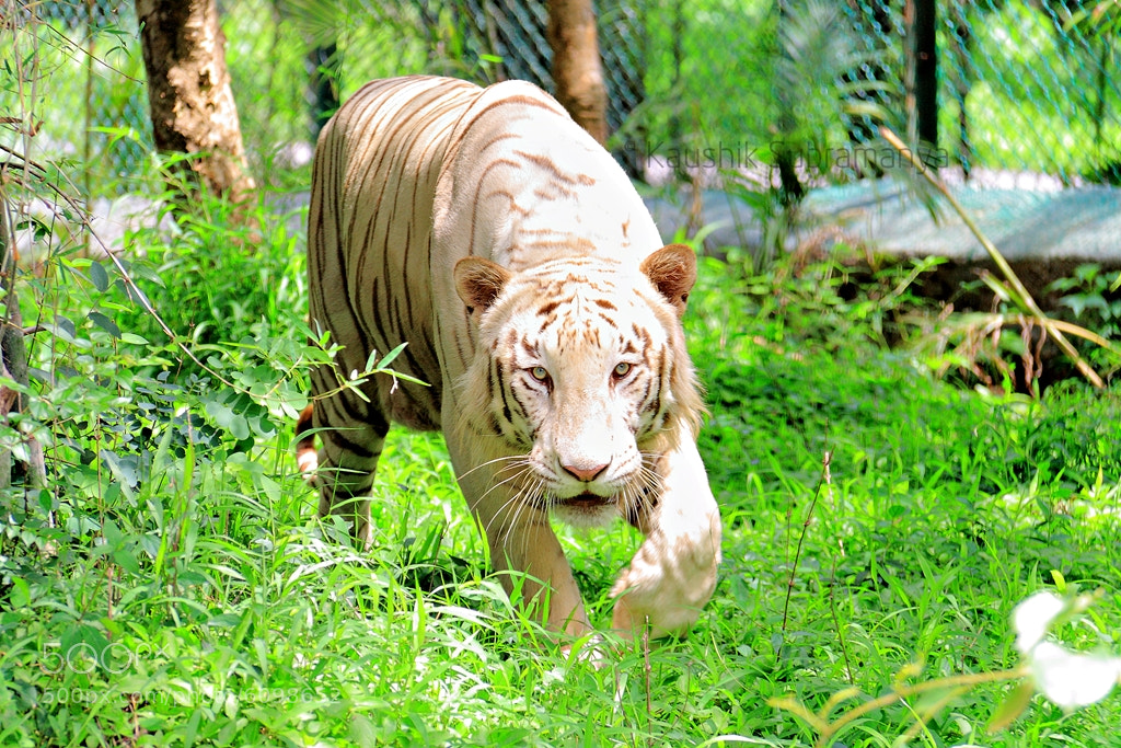 Photograph White Tiger by Kaushik Subramanya on 500px