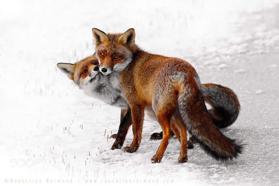 Photograph Foxy Love: A Happy Valentine by Roeselien Raimond on 500px