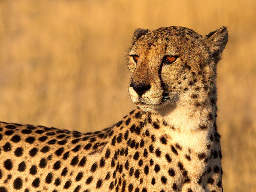 Photograph Golden Cheetah by Thomas Retterath on 500px