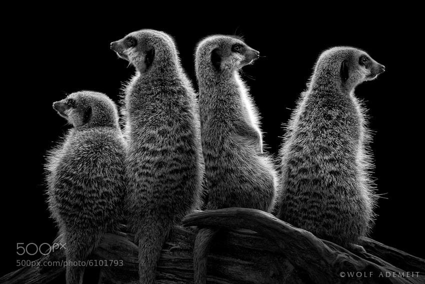 14 meerkats