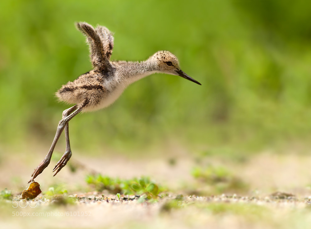 Photograph Early attempts to flight by Stefano Ronchi on 500px