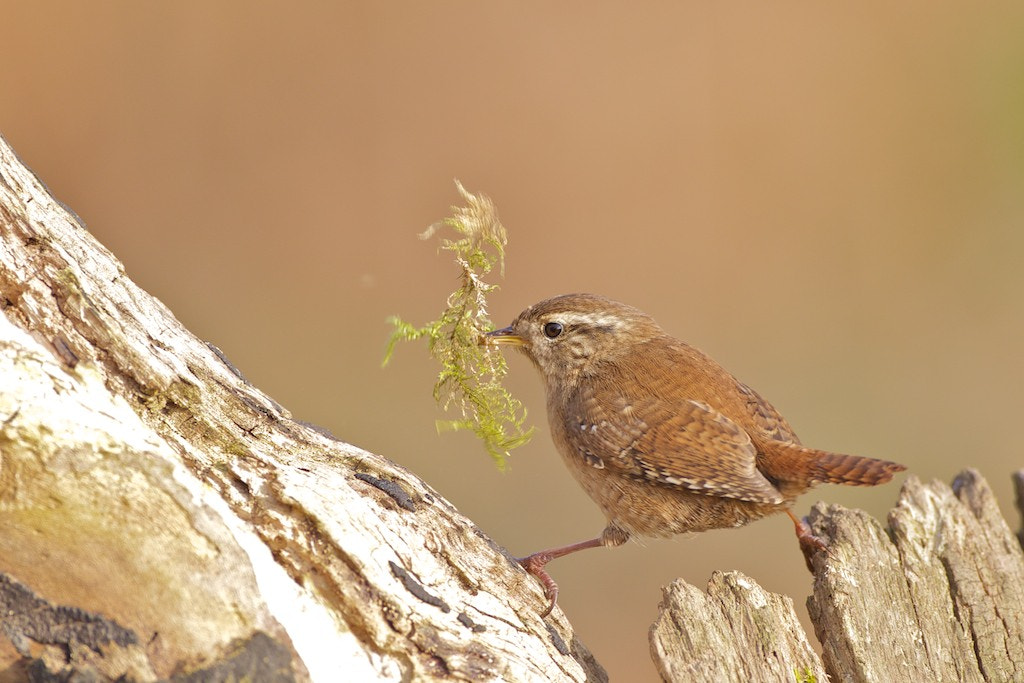Photograph Wren by David Featherbe on 500px