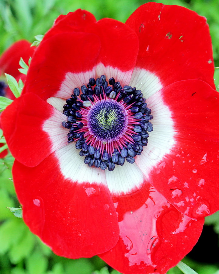 Photograph Wet Red Anemone by Mike Oberg on 500px
