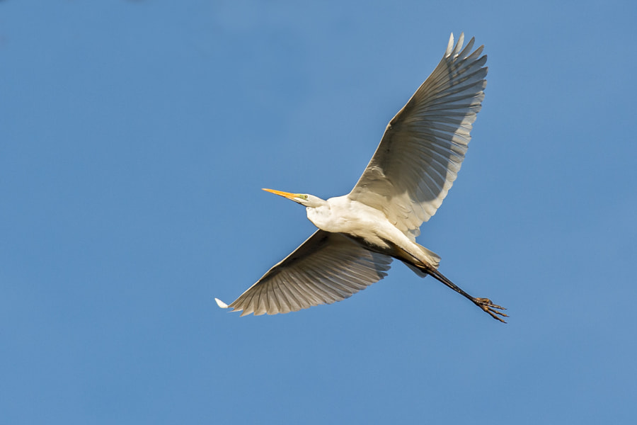 Great White Egret | Silberreiher