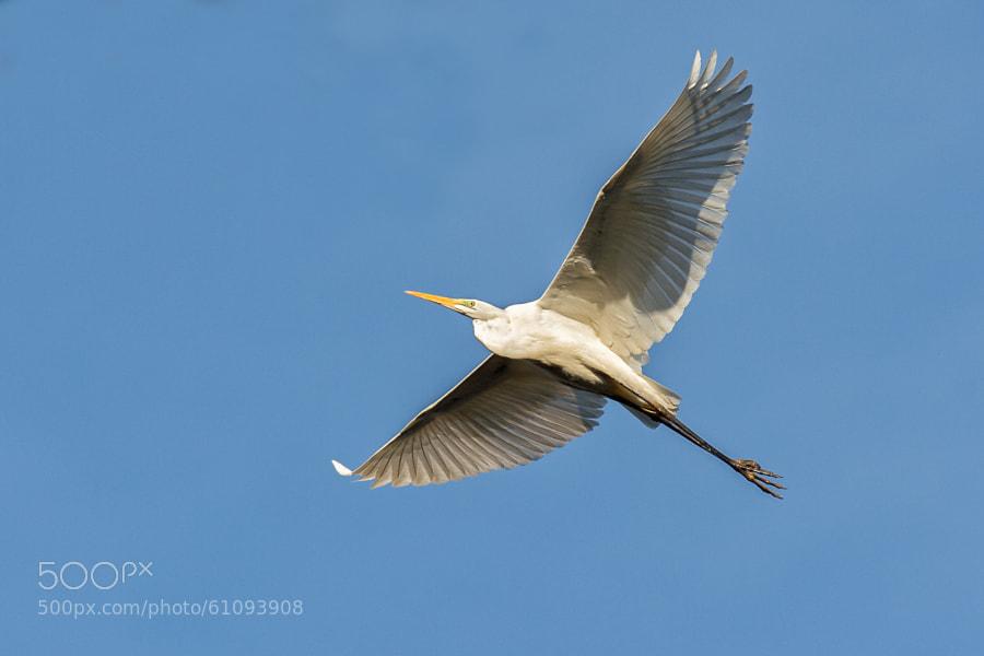 Great White Egret | Silberreiher