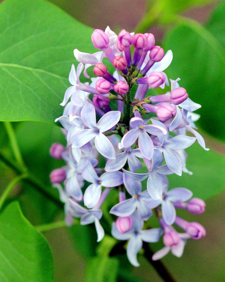 Photograph Our First Lilac Blooms by Mike Oberg on 500px