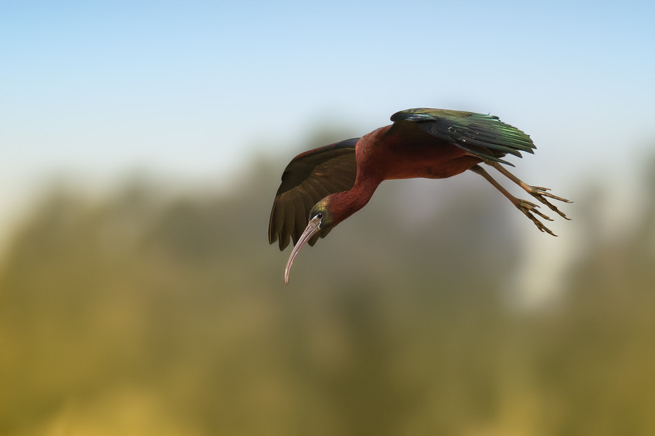 Photograph Brown Ibis (landing) by Basheer Sheick-Yousif on 500px