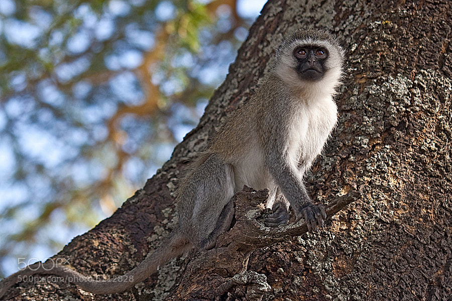 Photograph Vervet monkey on the lookout by Jochen Van de Perre on 500px