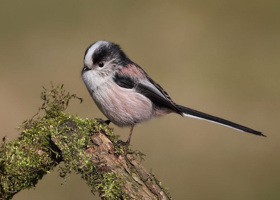 Photograph Long Tailed Tit by Karen Summers on 500px