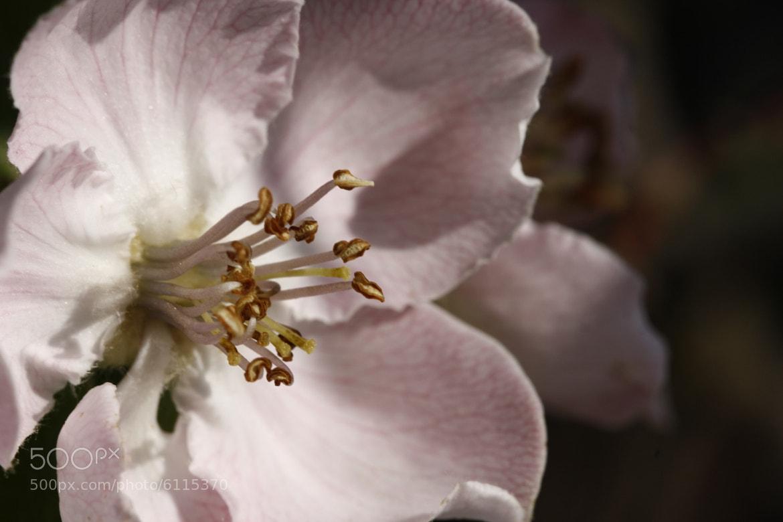 Photograph Flor del membrillo. by NINES Salvador on 500px
