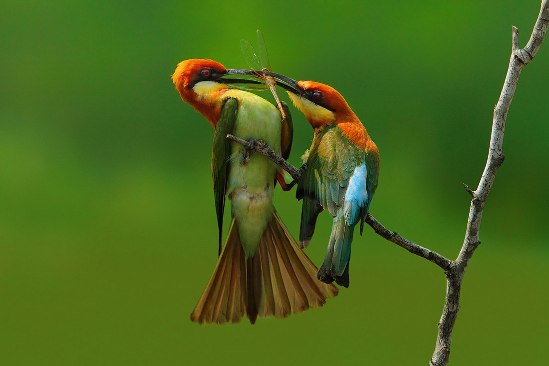Photograph Bee-eater by Sasi - smit on 500px