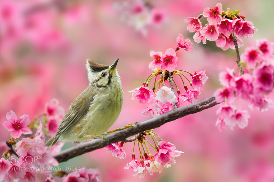 Photograph Taiwan Yuhina and Cherry Blossoms by Sue Hsu on 500px