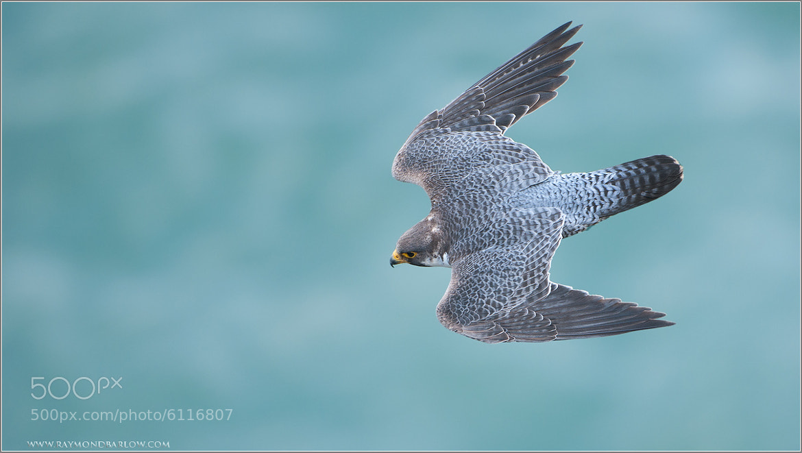 Photograph Peregrine in a Stoop by Raymond Barlow on 500px