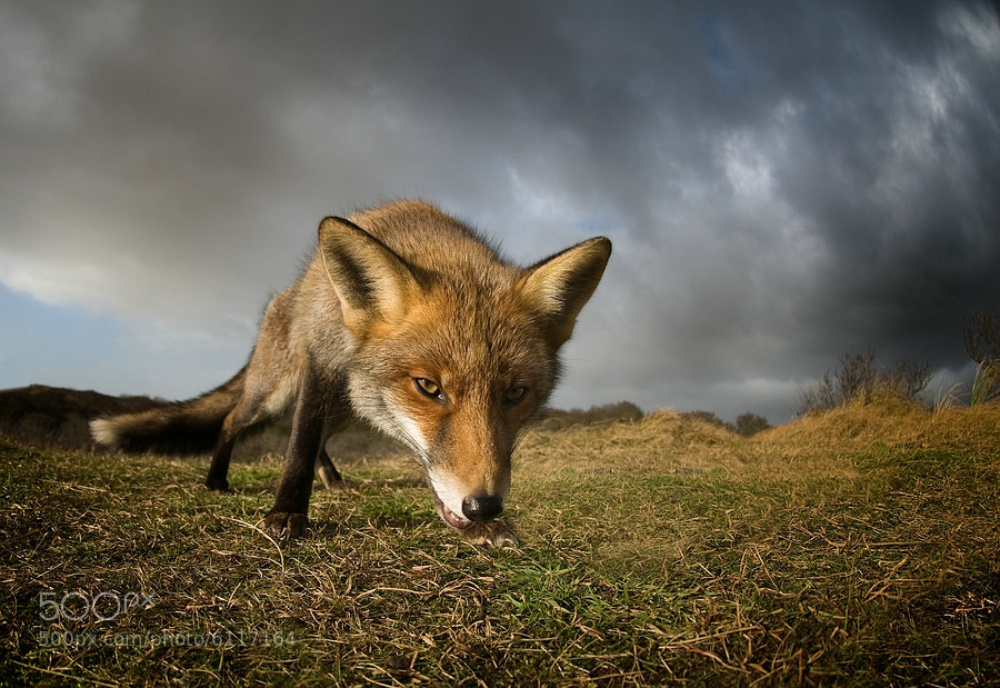 Photograph The fox in wolves clothing by Jeannette  Oerlemans on 500px