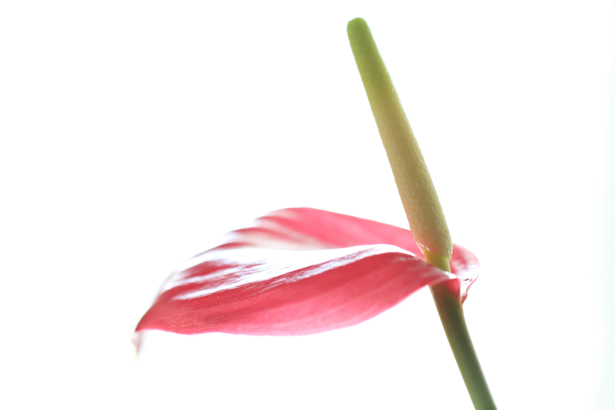 Photograph Anthurium by Demetrios Manolatos on 500px
