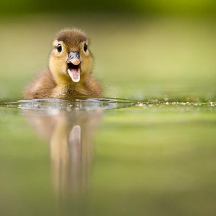 Mockery duck