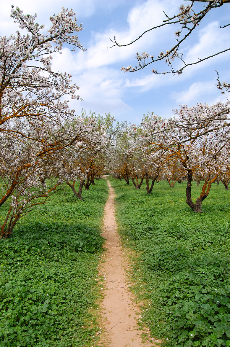 Photograph blooming almond trees by Dimitris Kolyris on 500px