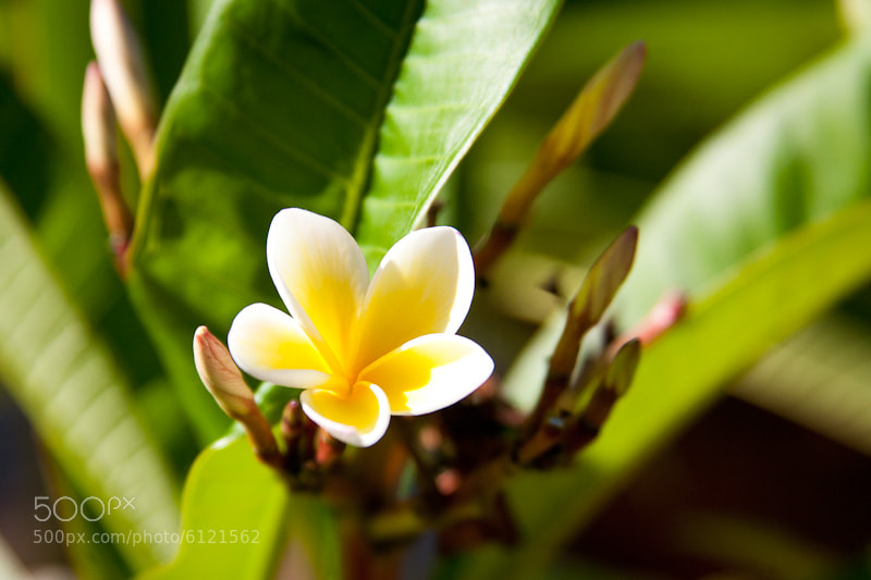 Photograph Frangipani by Rebecca Jane on 500px