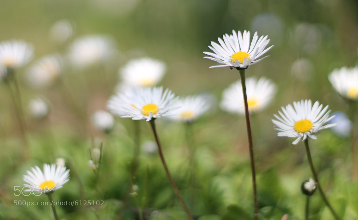 Photograph Bellis Perennis by Emi Pi on 500px