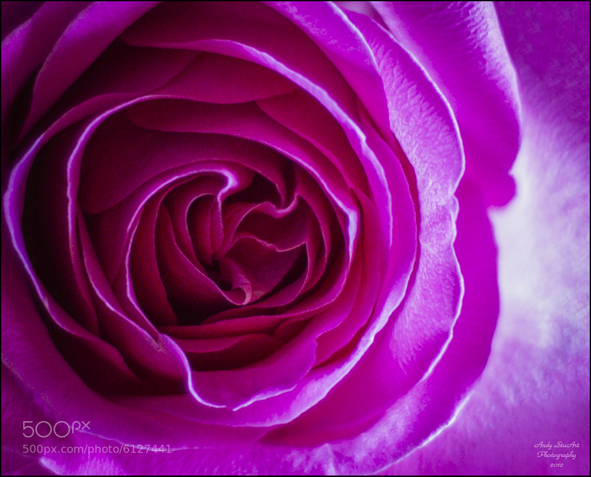 Photograph Just a Rose by Andy Stuart on 500px