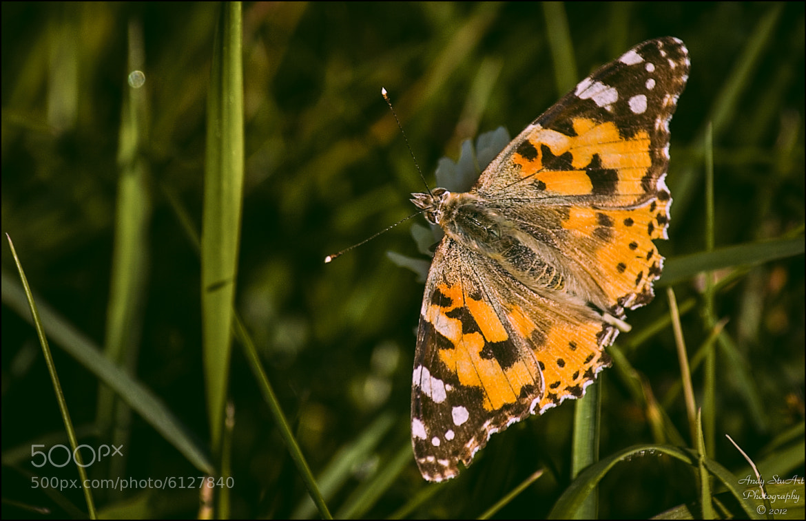 Photograph Painted Lady by Andy Stuart on 500px