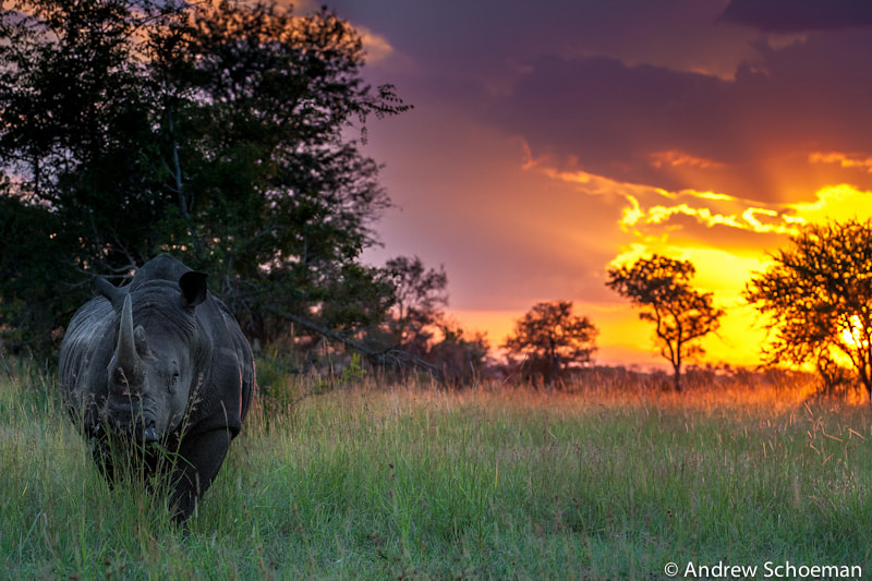 Photograph Rhino Sunset by Andrew Schoeman on 500px