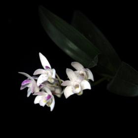 Flower - Den. Specio-kingianum 'Casablanca'